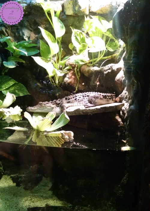 Alligator from Newport Aquarium